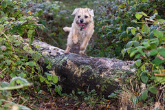 Pepper (g3az66) Tags: pepper borderterrier dog tree forest