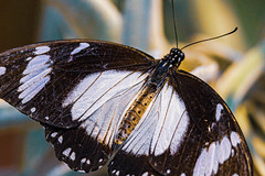 Mocker Butterfly--Papilio dardanus (Stephen G Nelson) Tags: insect butterfly mockerbutterfly botanicalgarden tucson arizona