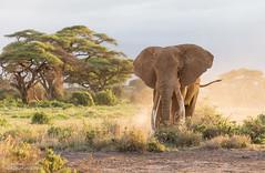 African Elephant - Loxidonta africana (rosebudl1959) Tags: africanelephant amboseli zebraplainsamboselicamp november 2019 bigtusker primo
