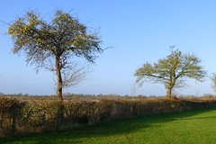Two Winter Trees (cycle.nut66) Tags: two trees winter hedgerow field green grass sky horizon skeeletal forms form blue brown shadow panasonic lumix lx5 leica summicron