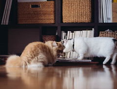 8th December 2019 (Nazra Z.) Tags: cat minuet munchkin eating home natural light vscofilm 2019 okayama japan