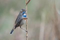 D50_1588.jpg (ManuelSilveira) Tags: piscodepeitoazul aves fauna