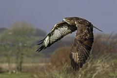 365 - Image 342 - Buzzard in flight... ;) (Gary Neville) Tags: 365 365images 6th365 photoaday 2019 sony sonyrx10iv rx10iv rx10m4 iv garyneville buzzard