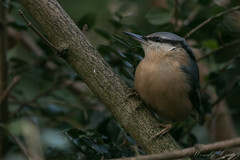 Nuthatch-6996 (WendyCoops224) Tags: 100400mml 80d canon eos gardenbirds ©wendycooper nuthatch