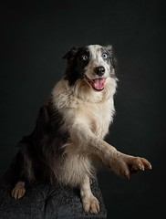 Shake a Paw (Chris Willis 10) Tags: will myrtle star studio dog pets animal canine studioshot bordercollie purebreddog mammal domesticanimals oneanimal blackbackground nopeople blackcolor brown cute sitting puppy looking frontview indoors