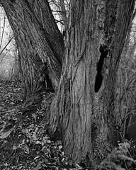 Die hohlen Zwillinge (ekech) Tags: ishootfilm istillshootfilm buyfilmnotmegapixels film filmisnotdead analog analogue largeformat grosformat 4x5 intrepid intrepid4x5mk4 fomapan fomapan200 rodinal woodland wald nature natur fujinonw135mm fujinon bonames bäume trees