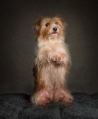 Sit up (Chris Willis 10) Tags: will myrtle star studio dog pets animal purebreddog canine mammal cute domesticanimals studioshot puppy small sitting looking oneanimal portrait brown terrier nopeople animalhair fur