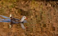 Râle d'eau (Michel Idre - 9 millions de vues merci) Tags: oiseau bird aves aude gruissan râledeau