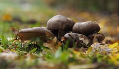 by the path (Johnson Cameraface) Tags: 2019 november autumn olympus omde1 em1 micro43 mzuiko 60mm macro f28 johnsoncameraface mushroom fungi