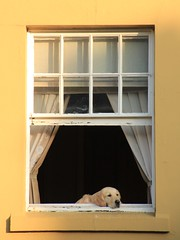 Dog in the window (Pauline Ann) Tags: window dog retriever cotswolds cute freshair bliss