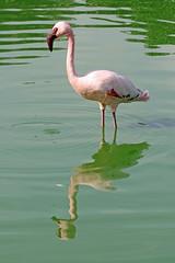 Lesser Flamingo (Roy Lowry) Tags: lesserflamingo phoeniconaiasminor flamingo bugibba malta