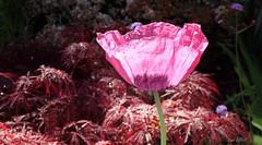 Paper Tissue Poppy (Lani Elliott) Tags: nature naturephotography sparkling droplets bokeh poppy flower garden homegarden pink pinkflowers japanesemaple maple lanisgarden lanisflowers colour colourful bright light