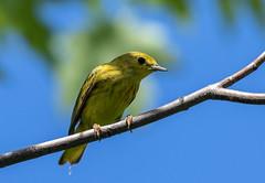 015A6863 Yellow Warbler (suebmtl) Tags: bird ontario canada male warbler coopermarsh dendroicapetechia yellowwarbler summer breeding breedingplumage