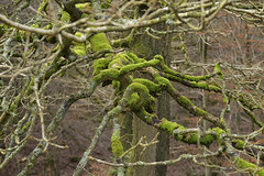 Jumble (Tony Tooth) Tags: nikon d600 sigma 70mm contorted twisted jumble branches moss lichen buxton derbyshire countryside