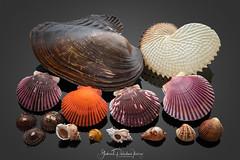 Worldwide shells (Gabriel Paladino Photography) Tags: species shell seashell concha caracol snail marine fauna animal biodiversity collection nature natural conchology malacologia malacology canon exploreme background stilllife gabrielpaladinoibañez