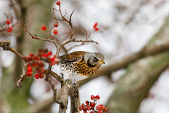 Gråtrost - Fieldfare (Robert Fredagsvik - Norway) Tags: norway trondheim gråtrost fieldfare birds fugler skogsfugler forrestbirds trøndelag fuglernorge birdsnorway vögel norwegen norge vögelnorwegen norwegiannature canon ©robertfredagsvik robertfredagsvik