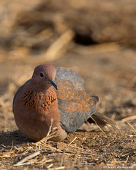 Foraging Laughing Dove (leendert3) Tags: leonmolenaar southafrica krugernationalpark wildlife wilderness wildanimal nature naturereserve naturalhabitat laughingdove bird coth5 cotth5