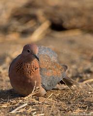Foraging Laughing Dove (leendert3) Tags: leonmolenaar southafrica krugernationalpark wildlife wilderness wildanimal nature naturereserve naturalhabitat laughingdove bird