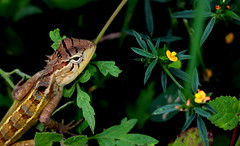 Brown garden lizard (viveksanand) Tags: animal reptile brown nature leaves flower