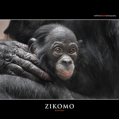 ZIKOMO (Matthias Besant) Tags: affe affen affenfell animal animals ape apes pygmychimpanzee fell zwergschimpanse hominidae hominoidea mammal mammals menschenaffen menschenartig menschenartige monkey monkeys primat primaten saeugetier saeugetiere tier tiere trockennasenaffe bonobo schauen blick blicken augen eyes look looking jungtier baby zikomo bonobobaby child kind zoo zoofrankfurt matthiasbesant matthiasbesantphotography hessen deutschland