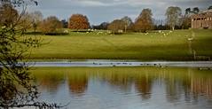 BERRINGTON LANDSCAPE (chris .p) Tags: berrington landscape herefordshire nikon d610 view capture hall nt nationaltrust lake winter 2019 sheep trees tree december reflections uk england walk
