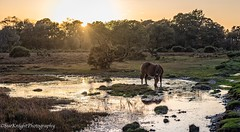 A peaceful scene in the New Forest (sueknightphotography) Tags: newforest horse newforestpony sunset dusk water countryside englishcountryside