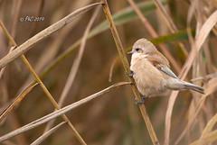 Rémiz penduline DSC_8864 (Philippe30670) Tags: oiseaux gard occitanie rémizpenduline remizpendulinus eurasianpendulinetit