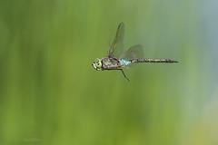 Anax parthenope (Sélys, 1839) (Pipa Terrer) Tags: anaxparthenope campodecartagena odonata anisoptera libélula insecta invertebrados insectos