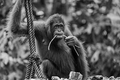 Sepilok Orangutan Rehabilitation Centre (Andrelo2014) Tags: sepilok orangutan rehabilitation centre sony ilce7m3 tamron sp 150600mm a7iii borneo sabah wildlife nature