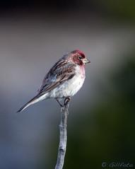 Cassin's Finch 18 (Gillfoto) Tags: cassinsfinch yellowstone nationalpark wyoming bird red