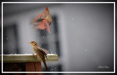 They come and they go! (janagoss32) Tags: winter2019 railing flying cardinal sparrow