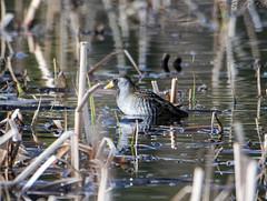 Unknown bird 36 (Gillfoto) Tags: bird unknown yellowstone nationalpark wyoming
