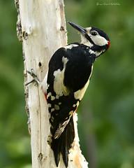 Garden 470 285 (Brian Gort Wildlife Photography) Tags: red great spotted woodpecker wildlife wild warrington white wood bird black nikon nature naturallight natural native
