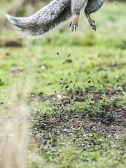 Caption  this (Paul wrights reserved) Tags: squirrel squirrels jump jumping rocket rocketman liftoff takeoff debris lol funny offscreen