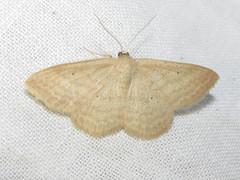 Scopula inductata (tigerbeatlefreak) Tags: scopula inductata insect moth lepidoptera geometridae nebraska