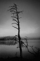Dead tree (ohschroeg) Tags: blackandwhite tree trees lake morning mist fog cold winter