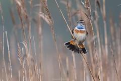 D50_1678.jpg (ManuelSilveira) Tags: piscodepeitoazul aves fauna