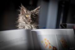Un chat pitre derrière le pupitre. (LACPIXEL) Tags: chat pitre pupitre cat kitten gata gatita chaton mainecoon pénélope penny livre libro book peinture pintura painting stand atril nikon flickr lacpixel