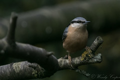 Nuthatch-7028 (WendyCoops224) Tags: 100400mml 80d canon eos gardenbirds ©wendycooper nuthatch