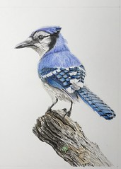 Photo of Blue Jay drawing