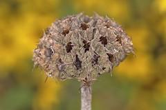 Turkish Sage - Phlomis russeliana (Phasmomantis) Tags: turkish sage phlomis russeliana perenial flower seed head springautumn pentax kmount tamrom 900mm sigma ringflash mayseptember macro closeup yellow bokeh