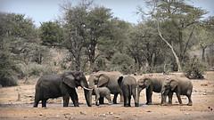 elephants (MiChaH) Tags: sa southafrica zuidafrika kruger krugernatiionalpark krugerpark wildlife wildlifephotography elephants olifanten 2019