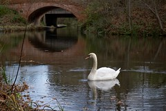 Photo of Swan on the Blackwater River