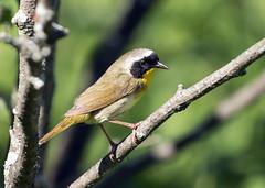 015A6910 Common Yellowthroat (suebmtl) Tags: bird ontario canada male warbler coopermarsh commonyellowthroat geothlypistrichas summer breedingplumage breeding