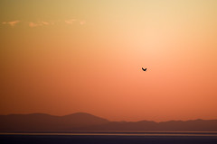 flying proudly (athanecon) Tags: bird wild wildlife city citysky hawk falcon dusk alimos saronic saronicgulf aegina island greece sea clouds mar mare mer ciel cielo colors colours colores pajaro oiseau mountains montanas montagne isla ile attica