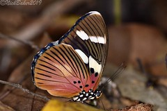 8791 (laba laba) Tags: euphaedra imitans euphaedraimitans ipassa research station ipassaresearchstation ivindo national park ivindonationalpark africa gabon rainforest nature macro closeup butterfly insect