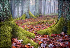 Autumn forest (Rob Schop) Tags: forest autumn trees moss leaves fog sonya6000 sigma30mm14 pola focusstack eifel vulkaneifel germany vacation composition mist prime hoyaprofilters