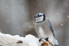 Blue jay-46288.jpg (Mully410 * Images) Tags: jay wind birding winter backyard bird birds cold bluejay birdwatching birder snow