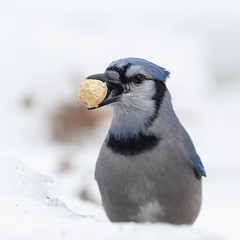 Blue jay-46347.jpg (Mully410 * Images) Tags: peanut birding winter backyard bird birdsjay cold bluejay birdwatching birder snow