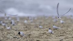 Accept my gift, Pls ! (- A N D R E W -) Tags: tern terns birds avion flight bif nature behavior wildlife sand arena beach playa summer verano dof depthoffield fish mating ritual blurred flying littletern